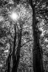 """fine art B&W impression of the hot summer sun just breaking into the cool forest of dark trees, Bois de Breuil, near Honfleur, Calvados, Normandy, France (grumpybaldprof) Tags: """"boisdubreuil"""" """"forestofbreuil"""" honfleur vasouy penndepie conservation """"conservatoiredulittoral"""" rhododendrons """"coastalconservancy"""" bois forest trees deciduous coniferous wood woods coastline """"dukesofnormandy"""" french kings """"philippeauguste"""" breuil wildlife wildboar """"pinemarten"""" """"redfox"""" deer """"forestwalk"""" landscape branches leaves noiretblanc """"blackwhite"""" """"blackandwhite"""" monochrome bw normandy normandie france calvados fineart """"fineart"""" impressionist impressionistic ethereal artistic shadow light contrast shapes patterns canon 70d """"canon70d"""" tamron 16300 16300mm """"tamron16300mmf3563diiivcpzdb016"""" summer sun sunshine sunlight bright"""