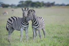 Burchell's Zebra - Equus quagga burchellii (rosebudl1959) Tags: 2017 botswana burchellszebra