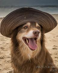 SZP_8929_pslr5 (Lakeside Annie) Tags: 2017 20170719 aussie australianshepherd bethanybeach bethanybeachde bethanybeachdelaware d7100 delaware denali july19 leannefzaras nikon nikond7100 redtri redtriaussie sarazphotography sigma sigma1770mm wednesday beachdog dog sandynose sandypaws beach delawarebeach