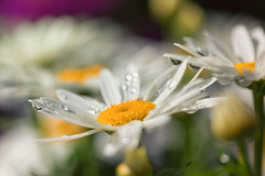 Daisies (mclcbooks) Tags: flower flowers floral macro closeup daisy daisies denverbotanicgardens colorado summer water drops droplets refraction