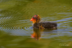 MOM says I'm cute! (craig goettsch - out shooting) Tags: hendersonbirdviewingpreserve2017 americancootfulicaamericana water green bird chick avian nature wildlife animal nikon d500 ngc sunrays5 coth5