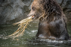 New Pool Toy (helenehoffman) Tags: omnivore brownbear ursusarctoshorribilis wildlife grizzlybear nature pool ursus sandiegozoo conservationstatusleastconcern ursusarctos carnivore mammal animal