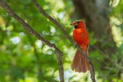 IMG_5454 (DavidMC92) Tags: canon eos 7d tamron sp 70300mm martin park oklahoma city songbirds northern cardinal