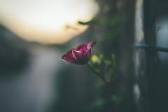 Dusk (der_peste) Tags: hff fence fenced fencefriday fencedfriday bokeh dof depthoffield shallowdepthoffield bokehlicious flower proxy macro blur sonya7m2 sel35f14z 35mm f14 dawn dusk sun sunset