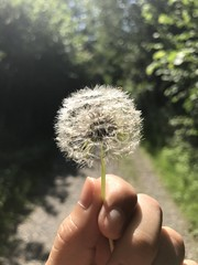 Be my Dandelion❤️ (adellton) Tags: makeawish dandelion iphone7plus swiss woods greens outdoors bokeh