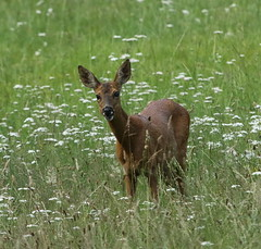 Roe Deer (farms 62) Tags: roedeer