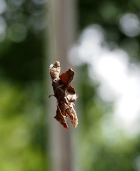 Almost Walked in to This (Plummerhill) Tags: bagworm larvae