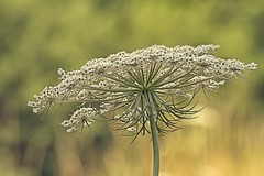 Wild  architecture (Roland B43) Tags: flower weed nature macro