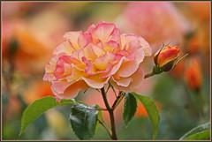 Rosige Zeiten ... (Kindergartenkinder) Tags: seppenrade rosengarten rosen rose blume kindergartenkinder