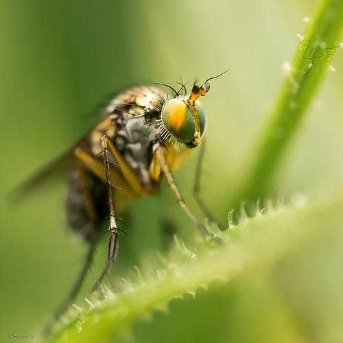 Dolichopus fly