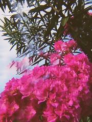 a bunch (meeeeeeeeeel) Tags: flores flowers garden jardim natureza nature surreal experimental iphoneography miragefilter jellylens buganvílias bougainvillea rosa corderosa pink