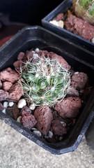 Mammillaria zeilmanniana. Julio 2017 (garconwii) Tags: cactus plant mammillaria zeilmanniana