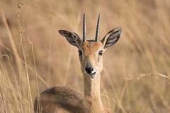 Ourebia ourebi (Arch Asem dajani1) Tags: 2016 mammals murchisonfallsnationalpark oribi ourebiaourebi uganda wildlife nwoya northernregion ug