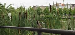 Urban nature: Berlin (langkawi) Tags: urban nature sparrow spatz sperling schild reeds engelbecken berlin mitte kreuzberg