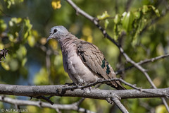 Emerald-Spotted Wood Dove (Asif Kassam) Tags: dove emeraldspotted wood malawi lengwe outdoor nature wild emerald spotted