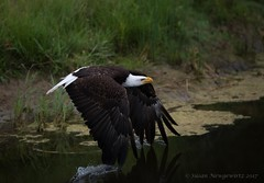 Look at what I can do (Susan Newgewirtz) Tags: americanbaldeagle wildlifephotography raptor eagle outdoor bird feathers
