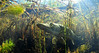 Ambush Predator (Fish as art) Tags: predator pike pikefishing northernpike northwestterritories north deepnorth weeds streams summer