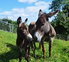 New mum. (carolinejohnston2) Tags: baby foal donkey animals pets mum newborn