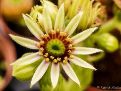 Sempervivum grandiflorum - Crassulaceae