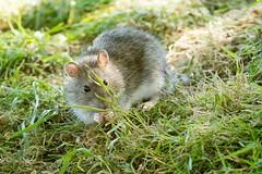 Ratty McRatface (.Hogan.) Tags: 300mmf4 dumfriesgalloway rattusnorvegicus sandyhills brownrat d500 nikon