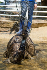 Earl the Emu takes a Shower (suzeesusie) Tags: animalsanctuary animal bird emu water sanctuary santaclarita california summer outdoors rescued losangeles
