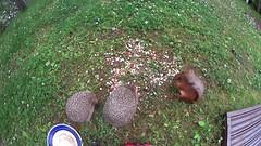 Hedgehogs: reaction to rain (talaakso) Tags: cameraperspective hedgehogs rain sade animalbehaviour erinaceuseuropaeus sonyfdrx1000v sonyactioncamera sony creativecommons attribution homevideo kotivideo hyvinkää finland