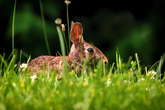 wabbit (david_sharo) Tags: nature wildlife moraine pennsylvania