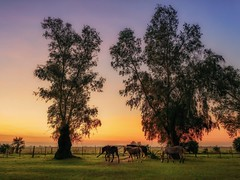 Waiting the night (karinavera) Tags: travel sonya7r2 view animals free sunset argentina pampa buenosaires campo field trees horses