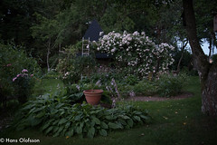 Summer night  - Garden Skammelstorp (Hans Olofsson) Tags: 2017 garden skammelstorp trädgård roses