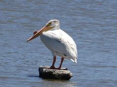American White Pelican (timber1212) Tags: ebparksok ebrp coyotehills fremontca california sfbayarea bay marsh bird americanwhitepelican