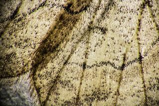 Moth wing