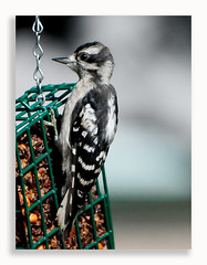 Hairy Woodpecker (Dennis J2007) Tags: hairy woodpecker
