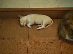 P7151117 (tatsuya.fukata) Tags: thailand samutprakan dog animal