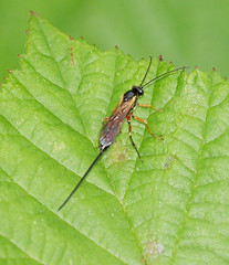 2017_07_0254 (petermit2) Tags: ichneumonwasp ichneumon wasp sprotbrough doncaster southyorkshire yorkshire