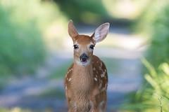 Chevreuil Faon / Deer Fawn (ALLAN .JR) Tags: fawn chevreuil deer nature wildlife ilestbernard nikon