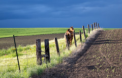 The Grass is Not Always Greener on the Other Side (cheryl strahl) Tags: washington thepalouse palouse horses fence light rain ominous sky wheat grass growth washingtonstate ngc
