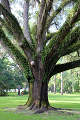 Eden Gardens State Park, Florida (fisherbray) Tags: fisherbray usa unitedstates florida waltoncounty pointwashington edengardens statepark quercusvirginiana southernliveoak liveoak tree baum virginialiveoak canon eosrebel eosrebelt6
