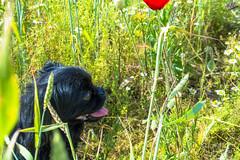 Зверушки 0410 (2016.06.01) (vladsky78) Tags: ильичёвск животные зелень цветы поле собака
