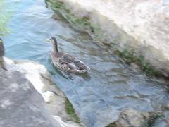 Ducks (Rated R Superstar!) Tags: ducks lake erie cardalejones