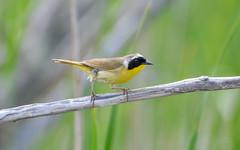 Common Yellowthroat (Celyne Moe) Tags: birds hecla manitoba