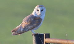 Barn Owl (1 of 2) (KHR Images) Tags: barn owl barnowl tytoalba wild bird perched birdofprey gate fendraytonlakes cambridgeshire eastanglia rspb closeup sunshine daylight morning nature wildlife nikon d500 kevinrobson khrimages