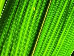 Raketenmais. Maisblatt im Gegenlicht. (Wallus2010) Tags: mais maisblatt natur gegenlicht nahaufnahme struktur maserung grafik