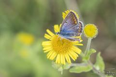 Common blue. (Male) (PvRFotografie) Tags: nederland holland nature natuur inscect butterfly vlinder bloem bloemen commonblue icarusblauwtje 35mm fujixt2 fujixf35mmf20rwr close closeup macro