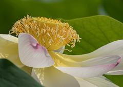 Fior di loto (marypink) Tags: nelumbonucifera fiordiloto parcodelmincio flower closeup summer estate laghidimantova details nikond500 nikkor80400mmf4556