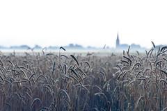 Kornfeld im Sommer (webpinsel) Tags: felder frühmorgens halternamsee hullern landschaft morgendämmerung morgensonne morgenstimmung natur sommer morgens kornfeld feld