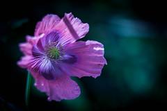 Empire of Dreams (ursulamller900) Tags: papaversomniferum helios442 mohn schlafmohn poppy bokeh purple flower blume