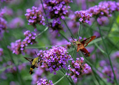 A remarkable pair (KsCattails) Tags: clearwing garden hemarisdiffinis hemaristhysbe hummingbirdmoth insect kscattails mo moth pair powellgardens snowberry verbena