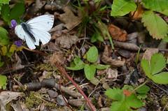 [Pieridae] Pieris mannii (Karstweissling) (pe_ma) Tags: schmetterling butterfly kleinesmelchtal weissling karstweissling pierismanii