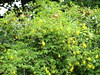 Dactylicapnos (wallygrom) Tags: england westsussex eastpreston angmering ferring worthing highdown highdowngardens highdownhill july2017