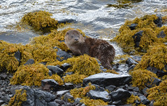 Otter (Cant Beat The Drumm) Tags: otter seaweed rocks listening scotland scottish isle mull